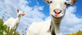 Goat Sacrifice to Ba'al Replaces Medicine Rounds, No Change in Patient Outcomes