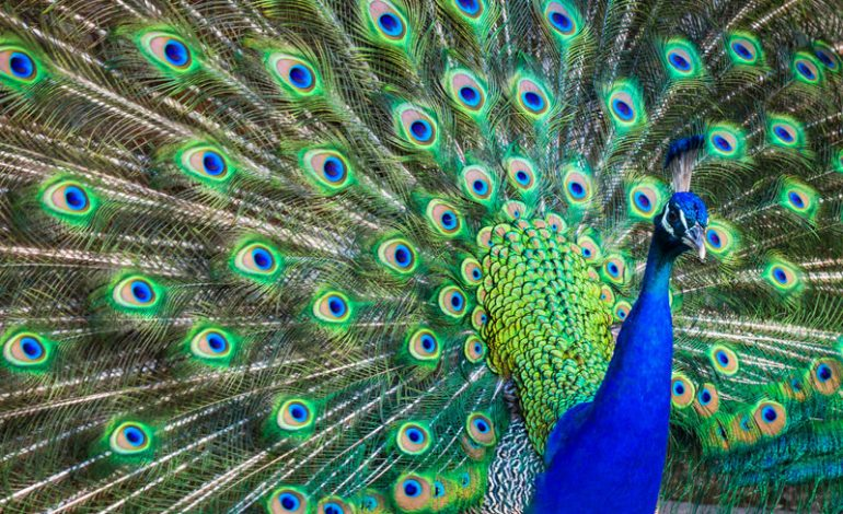 Ask An Emotional Support Peacock Your Therapy Questions