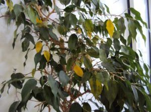 Oncologist Puts Dying Ficus Tree on Palliative Chemo