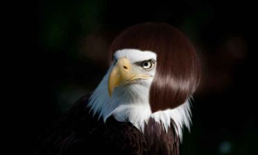 Alopecia Fail: Embarrassed Bald Eagle Clearly Wearing a Wig