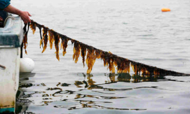 Seaweed On Your Dinner Plate: The Next Kale Could Be Kelp